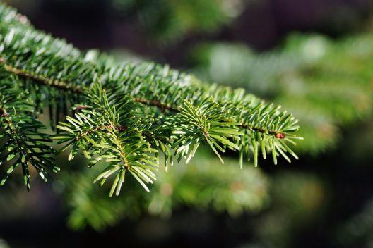 Tannenbaum Selber Schlagen.Weihnachtsbaum Kaufen Selber Schlagen Termine 2017