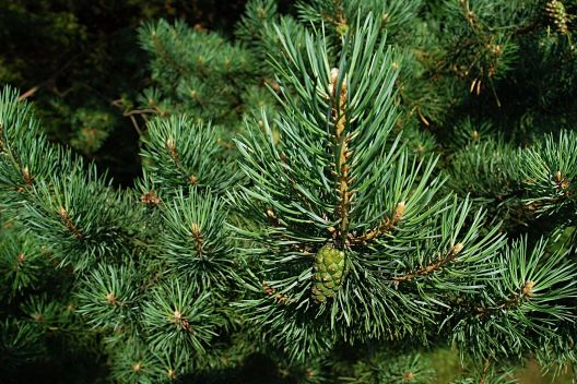 Kiefer, Weihnachtsbaum