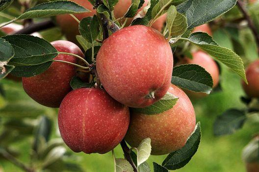 Äpfel, Apfel, Ernte, Blätter, Baum, Obst, Obstbaum